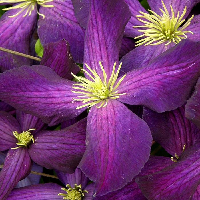 Clématite jackmanii purpurea